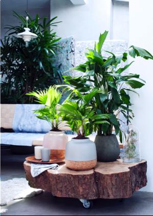Exclusieve palmen woonplant februari 2017 houten plak