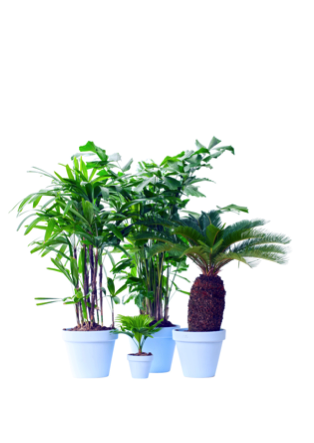 Exclusieve palmen woonplant februari 2017 los