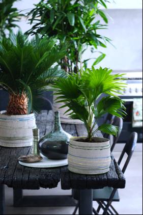 Exclusieve palmen woonplant februari 2017 op tafel