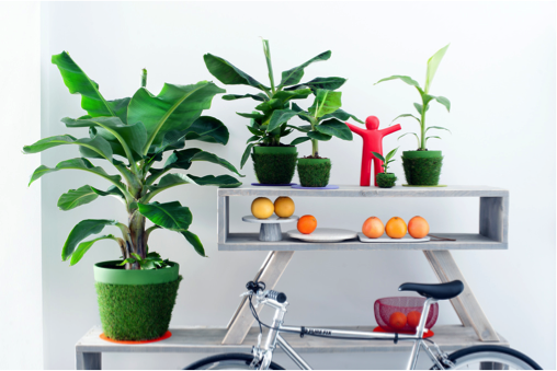 Bananenplant woonplant april 2017 fiets