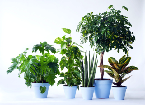 Mannenplanten woonplant juni 2017 blauwe pot