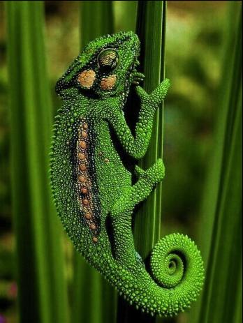 Groen hagedis
