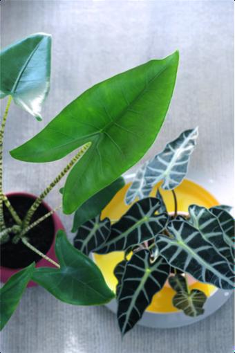Alocasia woonplant september 2017 van boven