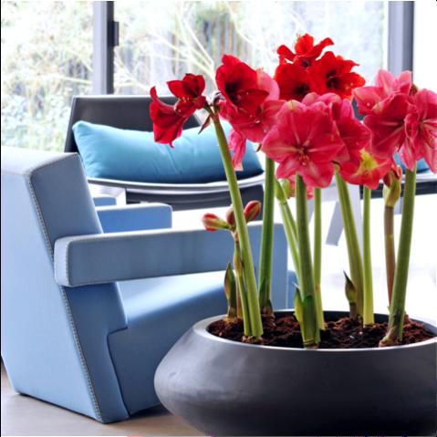 Amaryllis woonplant december 2017 blauwe stoel