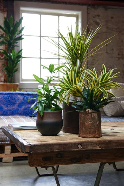 Dracaena woonplant januari 2018 op tafel