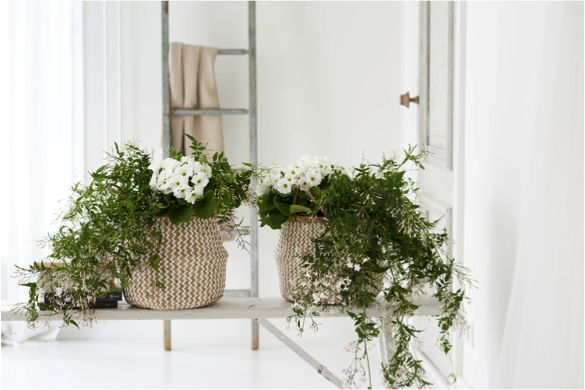 De klimplant jasmijn met z'n witte bloemen