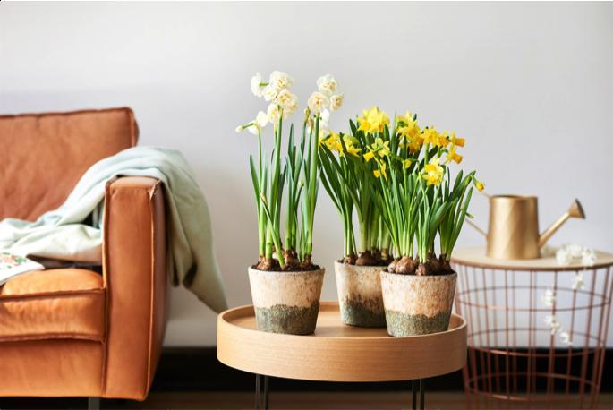 Voorjaarsbloeiers woonplanten maart 2018 narcissen