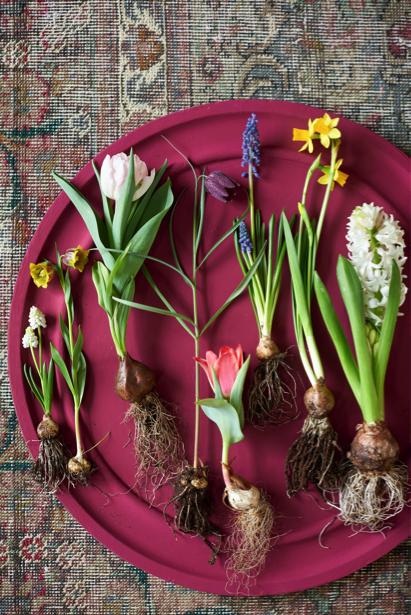 Voorjaarsbloeiers woonplanten maart 2018 roze schaal