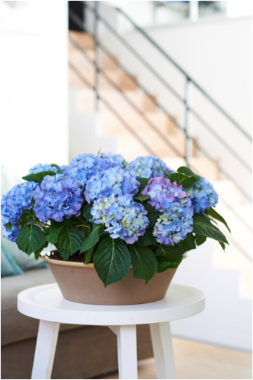 Hortensia woonplant april 2018 blauw in pot