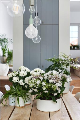 Hortensia woonplant april 2018 wit op tafel