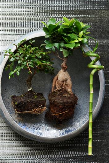 Zenplanten woonplant mei 2018 schaal