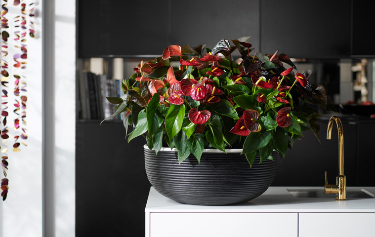 De anthurium in al z'n schoonheid