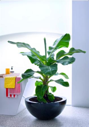 Bananenplant woonplant april 2017 badkamer
