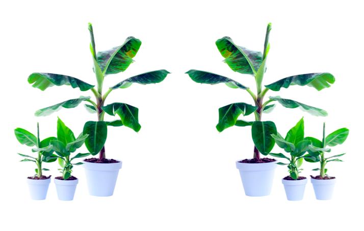 Woonplant van de maand april: Bananenplant