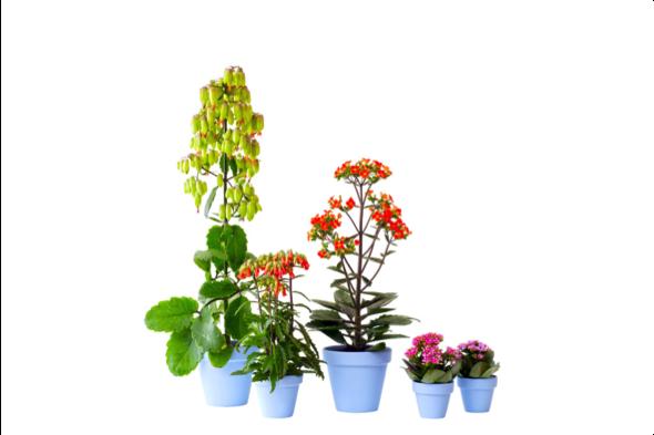 Woonplant van de maand juli: Kalanchoë