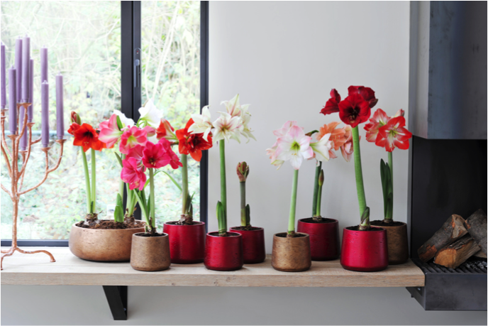 Woonplant Van De Maand December: Amaryllis