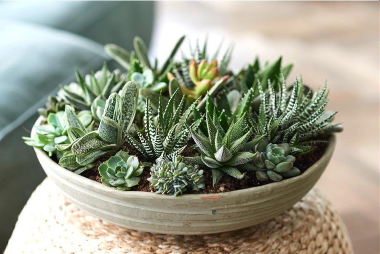 Woonplanten Van De Maand Juli: Vette planten