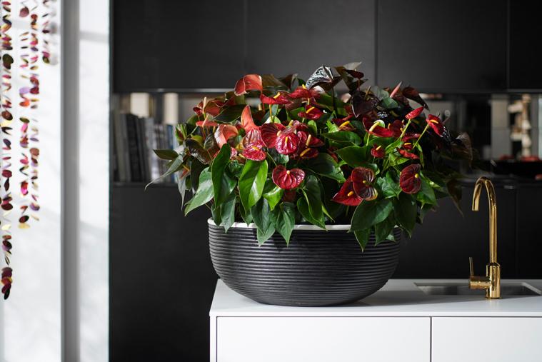 Woonplant Van De Maand December: Anthurium