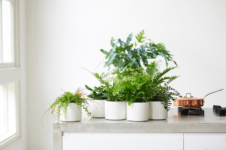 Woonplanten Van De Maand Februari: Varens