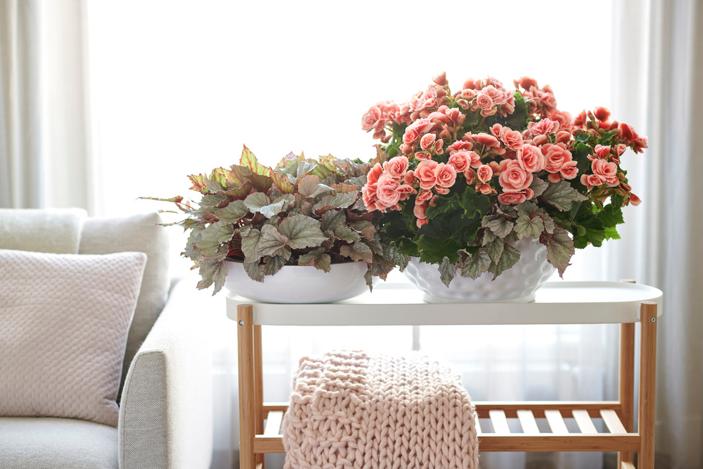 Woonplant Van De Maand April: Begonia