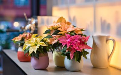 Woonplant van de maand december: kerstster